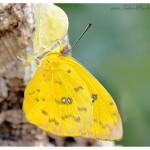 tropischer Schmetterling frisch geshlüpft