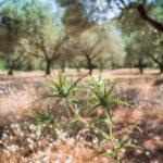 Olivenhain auf Kreta - Reisebericht von Tulpe Production